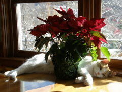 Cat & Poinsettia:  A Match Made in Sun