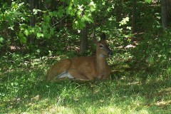 deer resting in shaded area of yard