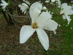 Tulip Tree Blossoms