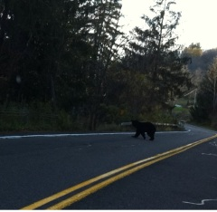 Bear sighted on Route 41