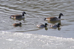 Ducks and geese feeding on the icy river