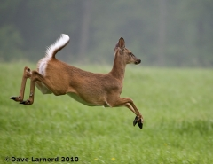 A doe on the go.
