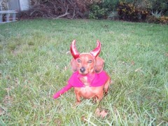 Doxie Devil!