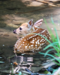 Yearling Fawn hiding in a creek.