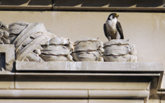 Downtown Peregrine's on Patrol