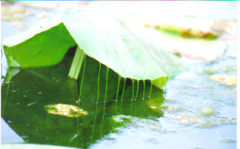 Unusual lily pad
