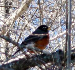 Harbinger of Spring or Lost Robin???