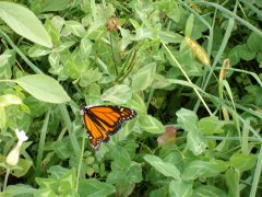 Monarch and leaves going down stream