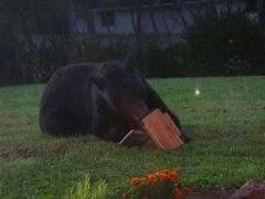 Black Bear Comes to Breakfast