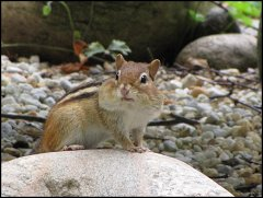 Watching the Chipmunks Ready for Winter!