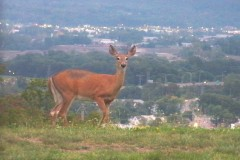 Deer on Carpathian Hill