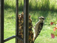 Woodpecker Visits