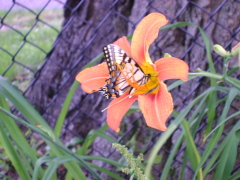 Butterfly on my lilly