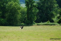 Bald eagle from a distance.