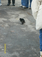 Black squirrel at Niagara Falls