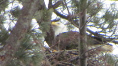 Eagle nest near genegantslet golf course