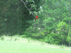 A Red Cardinal Watching