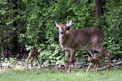 New mother and her new fawns