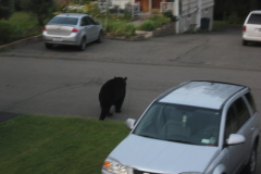 Bear Wanders through Vestal