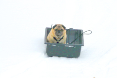 Frankie the Pug Sledding