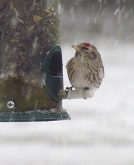 Hoary Redpoll Visits Southern Tier!