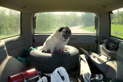 Pug Loves his Car Ride