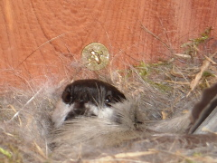 Chickadee nesting in a Bluebird's house.