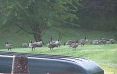 Invasion Of Canadian Geese