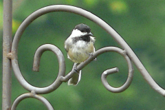 Chickadee on a Bird Feeder Pole
