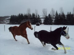 Horse's racing in the snow