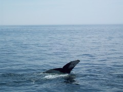 Whale Watching in Boston, Mass