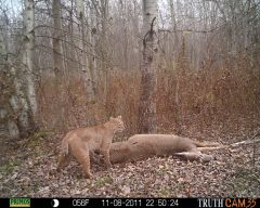 Bobcat In Bainbridge NY