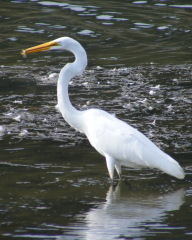 Egret and heron fishing the chenango