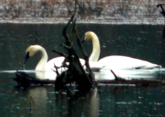 Whistling Swans at Braggs Pond Brook