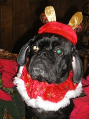 Roxy all dressed up for Christmas!