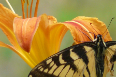 Butterfly on Daylily