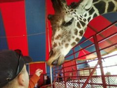 Giraffe at NYS Fair