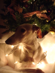 Holiday photos Italian Greyhound style