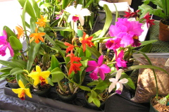 Southern Tier Orchid Society Show