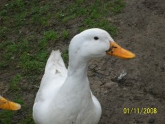 this are again my ducks