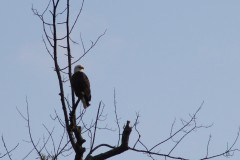 Bald Eagle spotted in Whitney Point