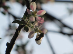 Honeybees and Appleblossoms