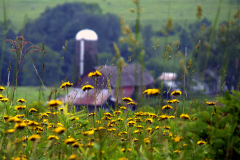 Dandelions & Barn in Triangle