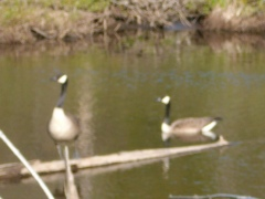 The hungry Geese