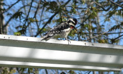 Woodpecker Making use of a rain gutter