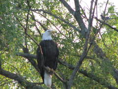 Bald Eagle & Blue Jay at Goodyear Lake