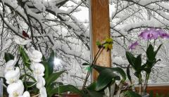 Snow, Cardinal and Orchids