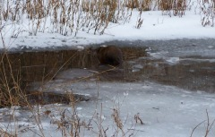 A Muskrat Is Visiting Our Pond.