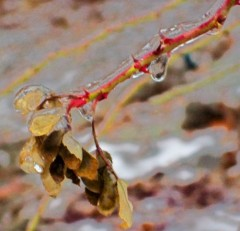 frozen wild rose branch