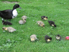 Baby Ducks in Cider Mill Orchard